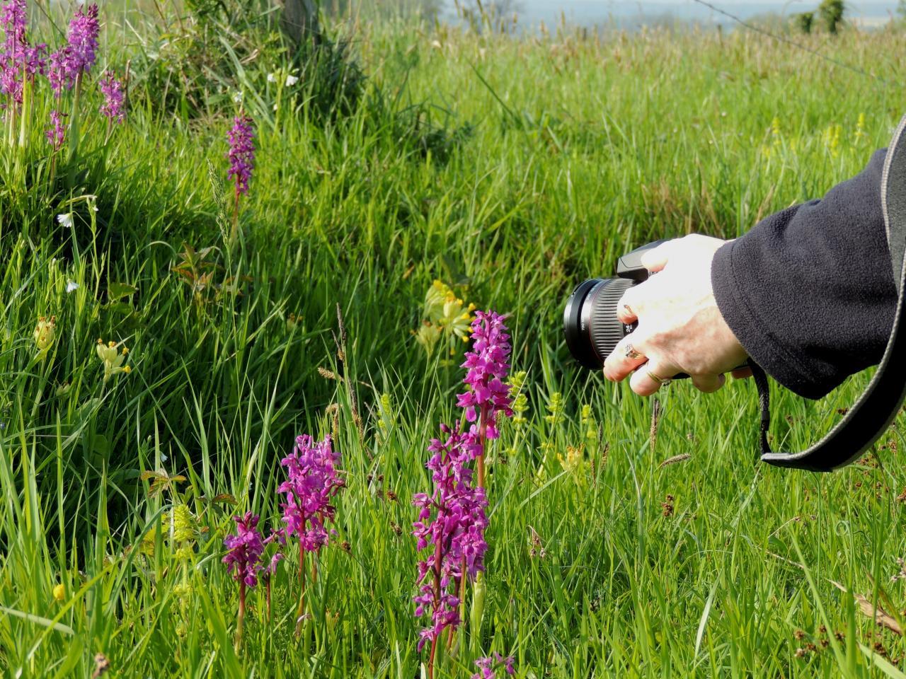 Anacamptis palustris, orchis des marais