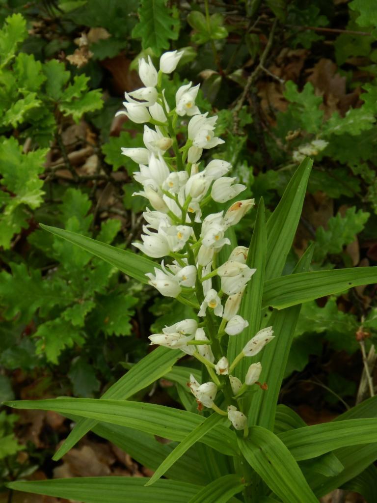 Cephalenthera longifolia