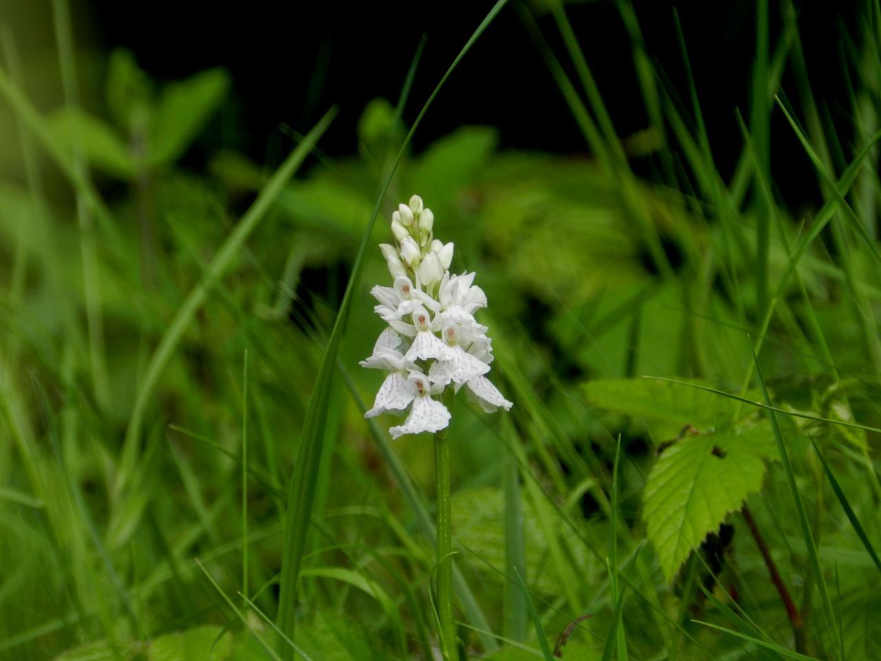 Dactylorhiza maculata, orchis tachetée