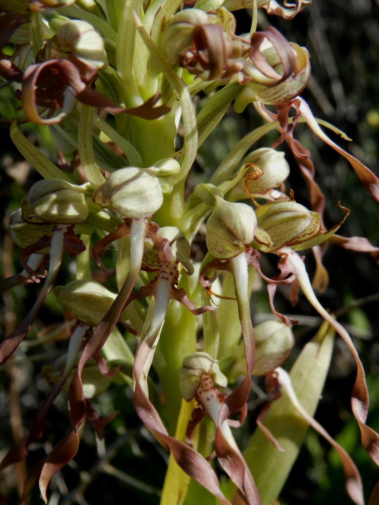 Himantoglossum hircinum à Malras 11 (le 18 mai 2014)