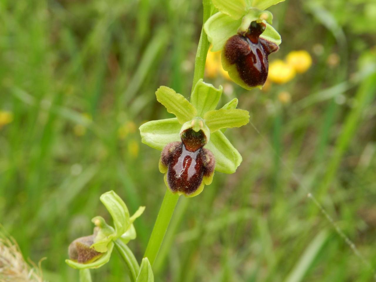 Ophrys archnitiformis photographié le 10 mai 2014 (Malras)
