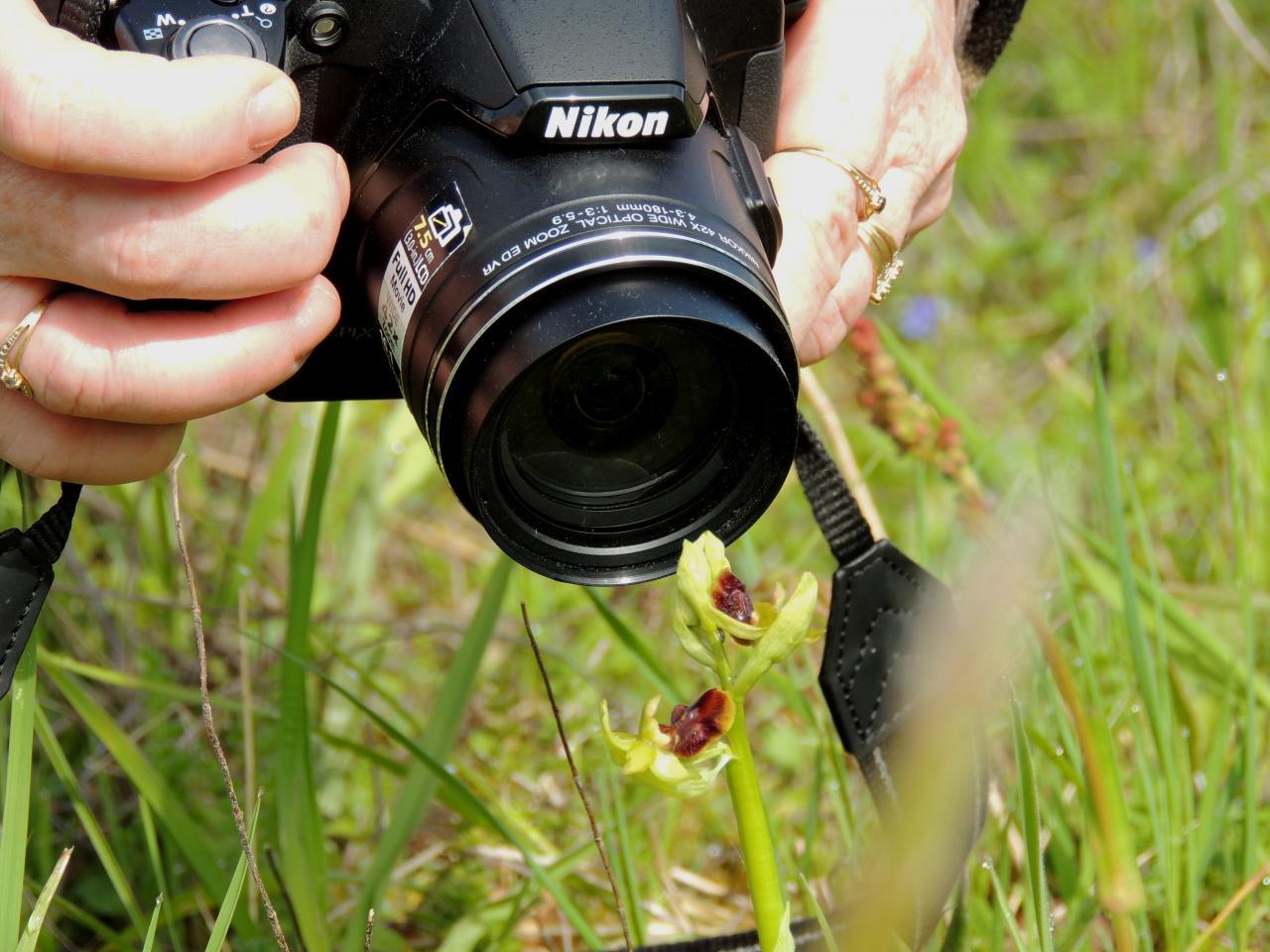 Ophrys araneola, ophrys litigieux