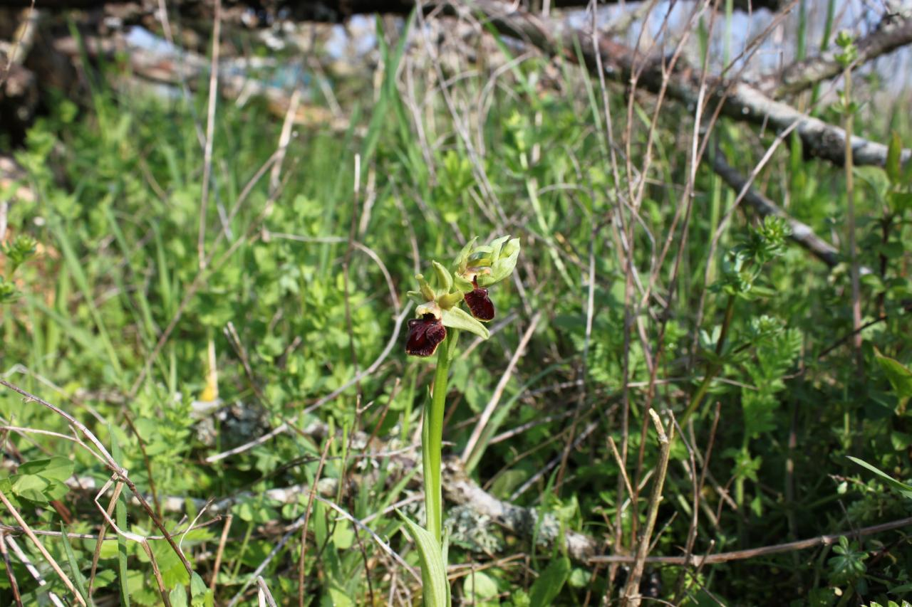 Ophrys incubacea, ophrys noir