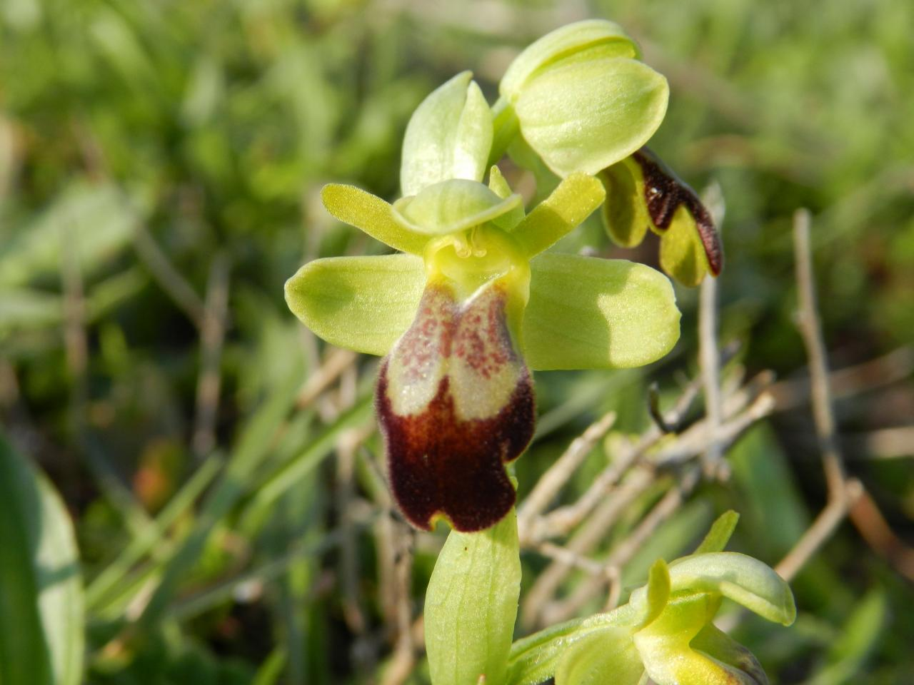 Ophrys lupercalis, ophrys brun (Malras 11)