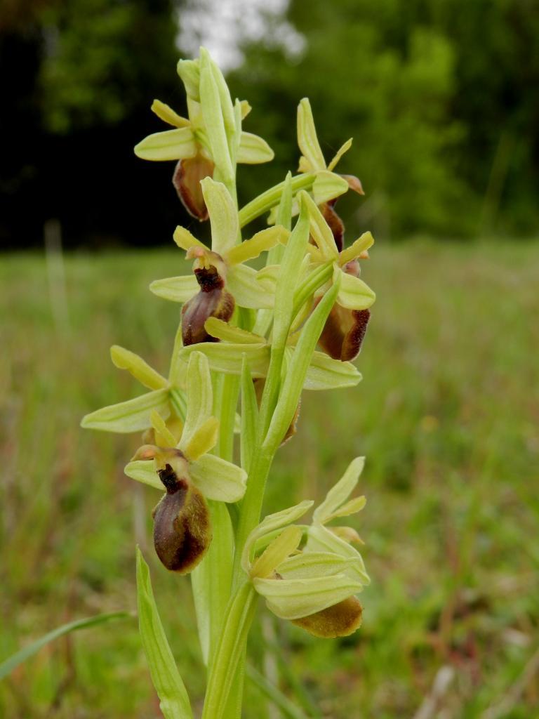 Ophrys virescens, ophrys virescent