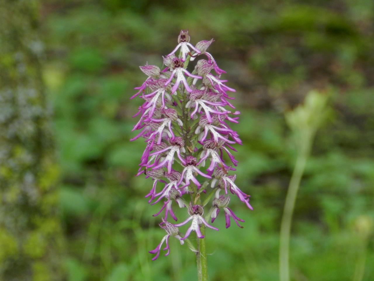 Orchis augusticruris, hybride simia et purpurea