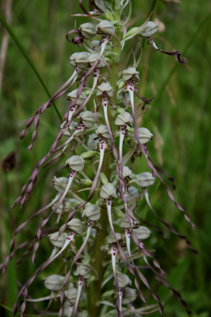 Himantoglossum hircinum, orchis bouc