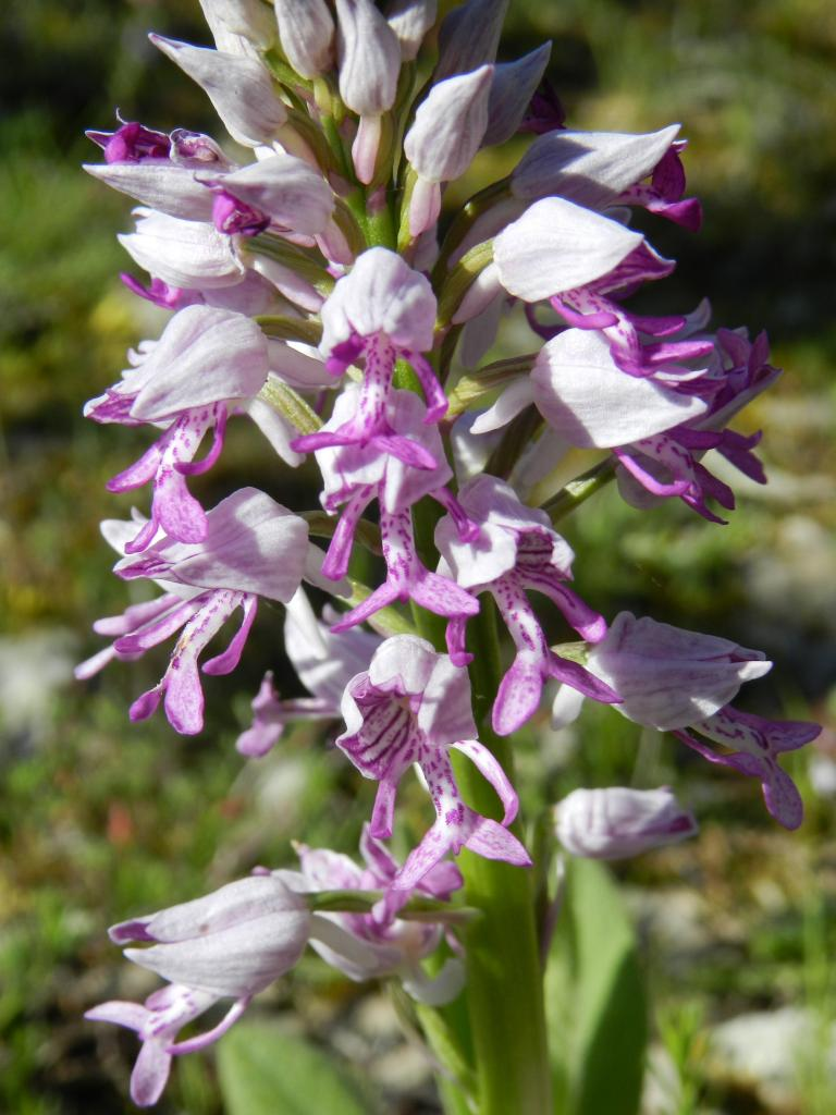 Orchis militaris, orchis guerrier (Malras 11)