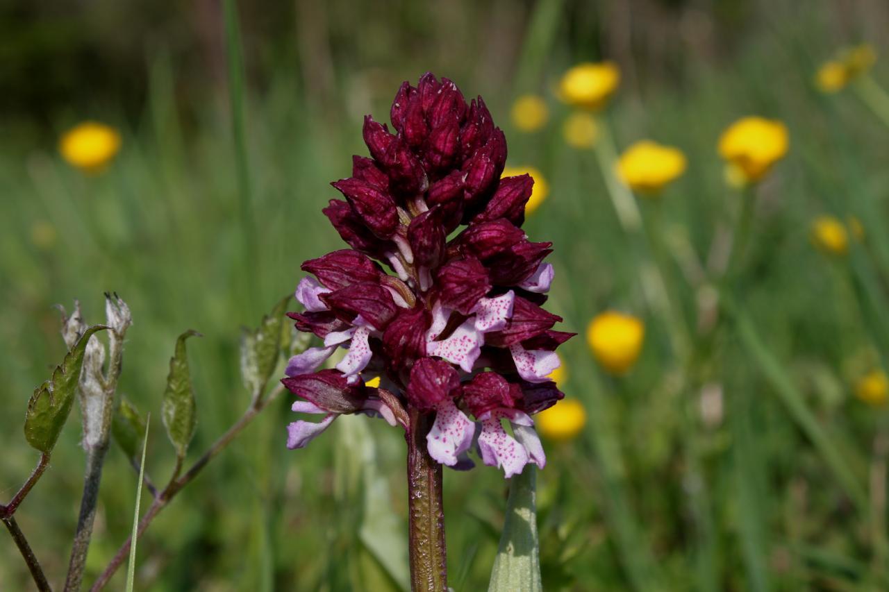 Orchis purpurea, orchis pourpre