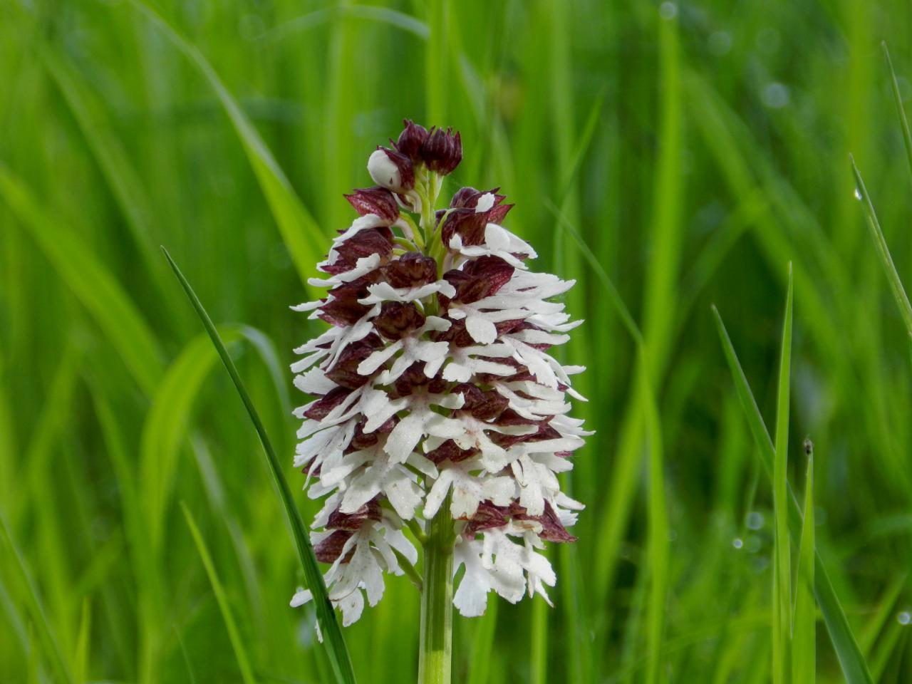 Orchis purpurea hypochrone, orchis pourpre blanche