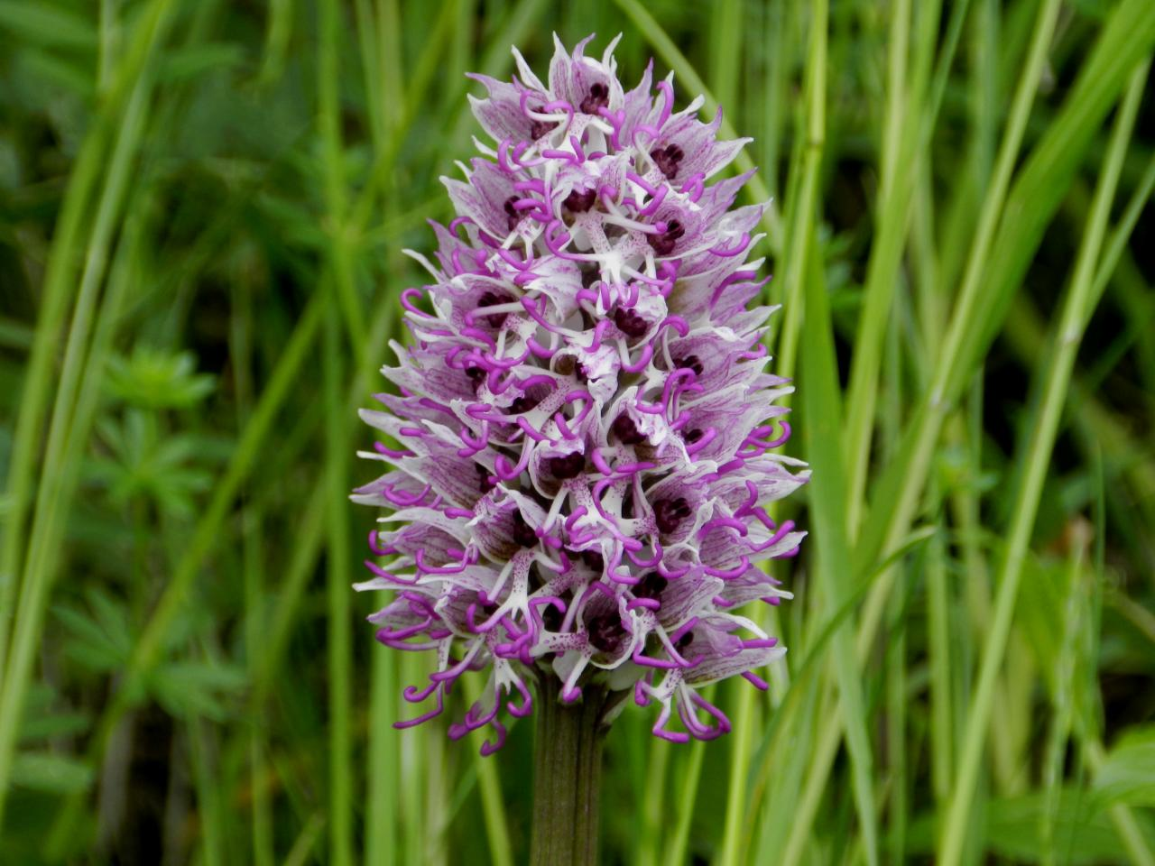 Orchis simia, orchis singe