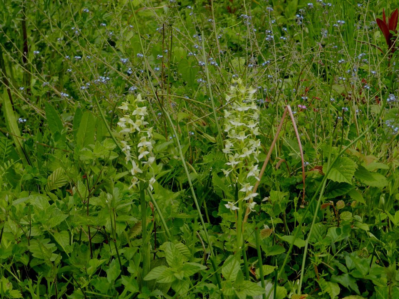 Plathanthera chlorantha, platanthère verdâtre