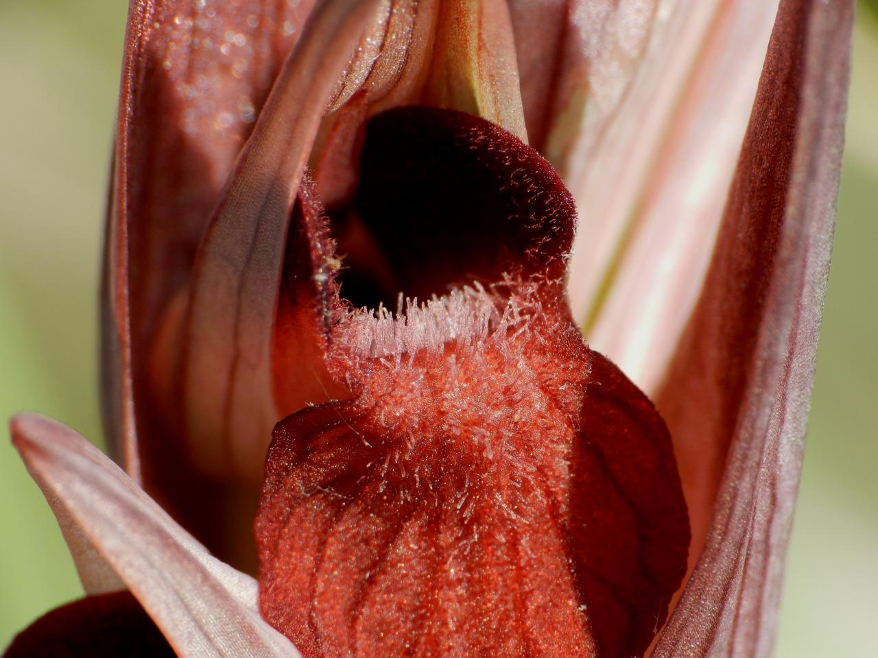 Sérapias vomeracea, sérapias à labelle allongé (Malras 11)